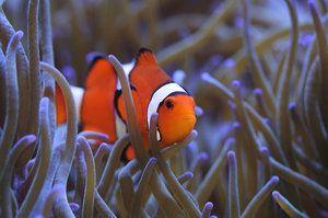 Актинія і риба клоун