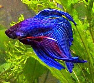 Kohútik akvarijných rýb: obsahové vlastnosti, fotografie rýb