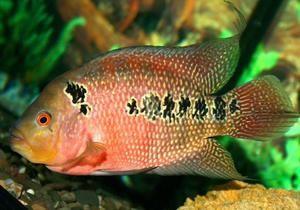Акваріумна риба-папуга: фото, опис виду та особливості змісту