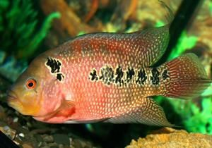 Akvarijné papagájové ryby: fotografia, popis druhov a vlastností obsahu