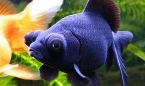 Акваріумна риба телескоп: утримання та догляд