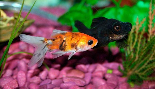 Риба телескоп в вашому акваріумі