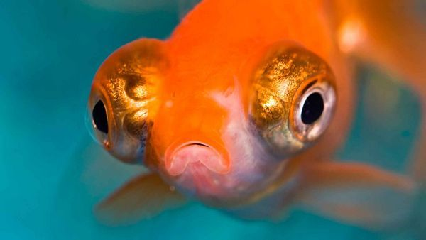 Золота риба телескоп