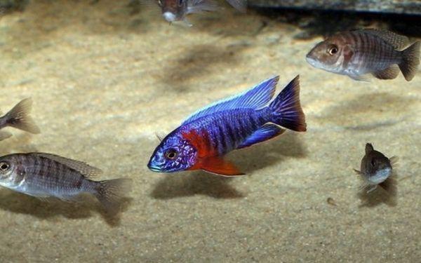Аулонокара в акваріумі