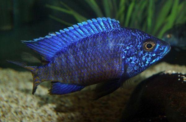 Ньяса блакитна