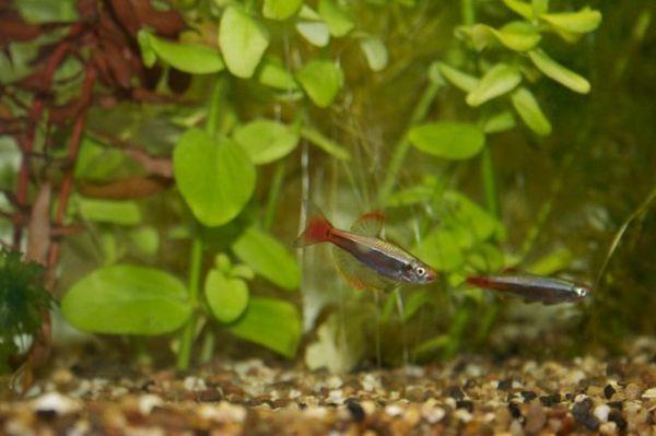 Акваріумні рибки кардинали