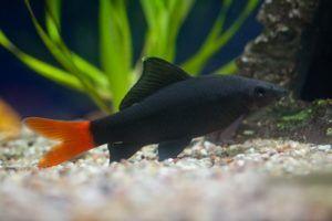 Акваріумна рибка лабео: догляд та утримання