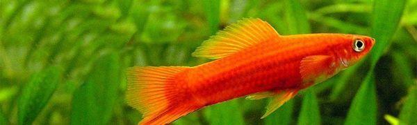 Акваріумна рибка мечоносець: утримання та догляд в домашніх умовах