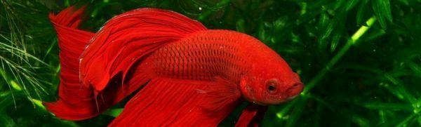 Kohútik akvarijných rýb: údržba a starostlivosť doma