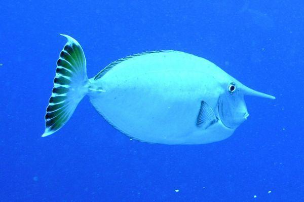 Риба-єдиноріг