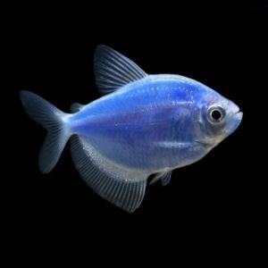 Акваріумна рибка тернеция: утримання та догляд
