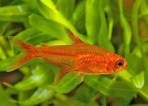 Akvarijné ryby tetra: popis