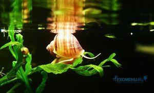 Акваріумна равлик ампулярия - опис молюска