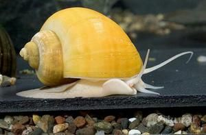 Ампулярии одні з найбільших видів акваріумних равликів