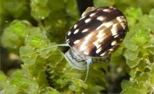 Акваріумна равлик маріза: як доглядати і чим годувати