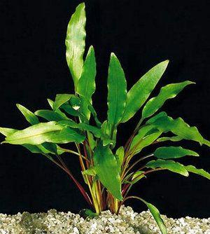 Kryptocorynová akvarijná rastlina