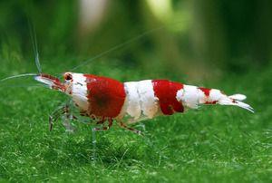 Особливості змісту акваріумний креветки