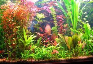 Особливості змісту водоростей в акваріумах