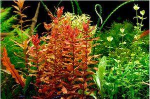 Опис видів акваріумних водоростей