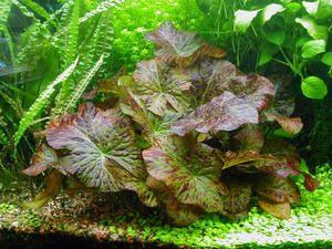 Різновиди акваріумних рослин в залежності від способу висадки