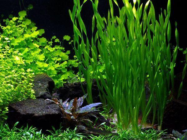 Зовнішній вигляд акваріумних водоростей валлиснерией