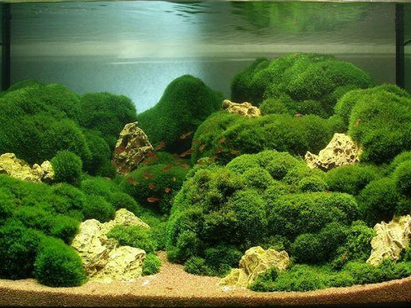 Властивості акваріумний водорості Яванского моху
