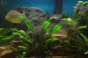 Опис хвороб акваріумних рослин і способи лікування