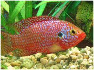 Цихліди в акваріумі види