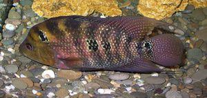 Акваріумні рибки малавийские цихліди