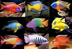 Як доглядати за рибками ціхлідамі