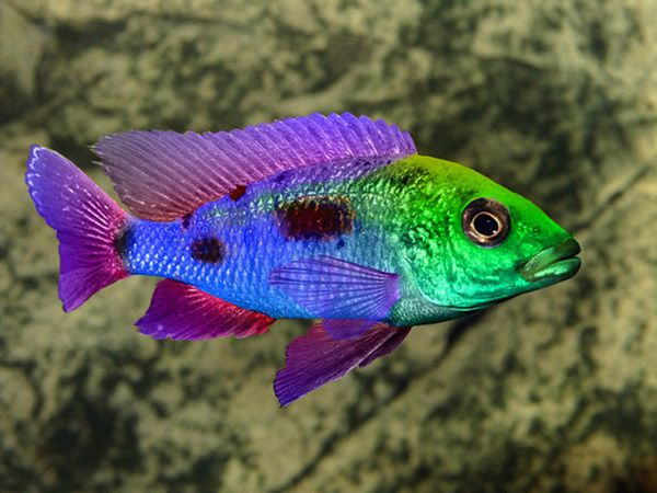 Акваріумна риба цихлид