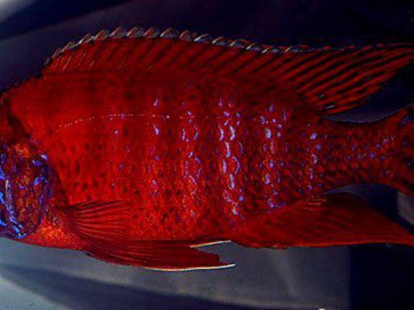 Зовнішній вигляд акваріумних цихлид