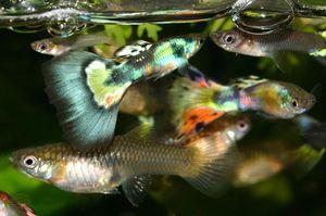 Акваріумні рибки гупікі: догляд та утримання, розмноження з відео
