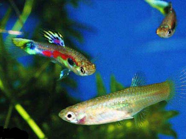 Опис риб гуппі