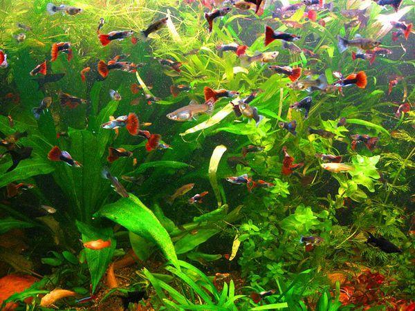 акваріумні гупікі