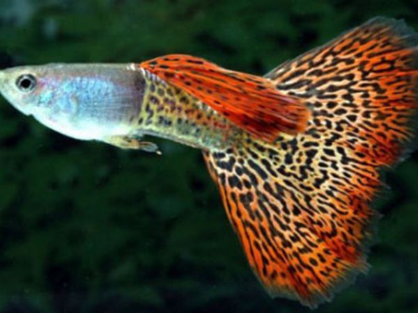 Акваріумна рибка гуппі