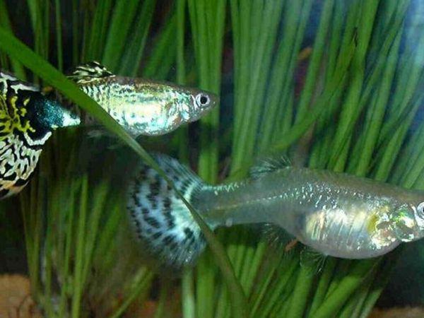 Забарвлення риб гуппі