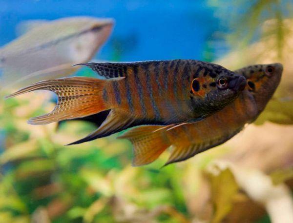 Макроподія в вашому акваріум