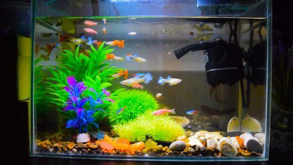 Неони в акваріумі