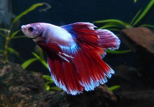 Рибка півник двохвостий