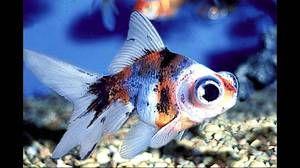 Види акваріумних риб