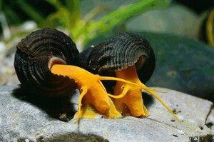 Різновиди акваріумних равликів