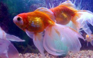 Акваріумні золоті рибки: догляд та утримання