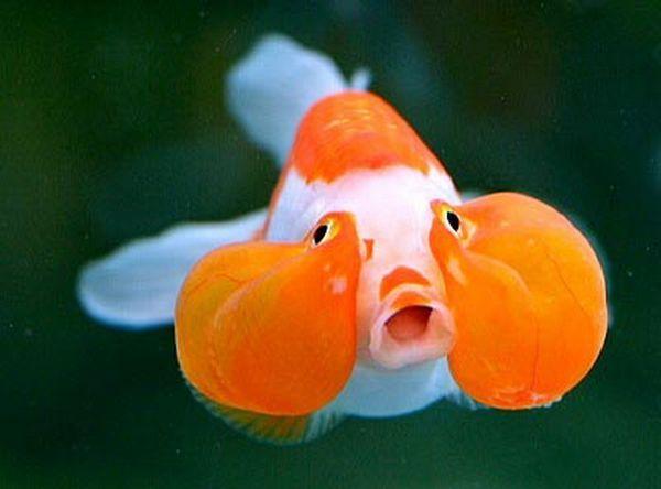 Золота рибка пузиреглазка