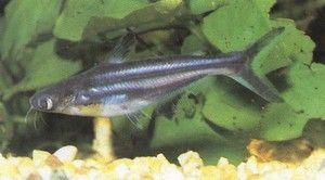 Ryba Pangasius