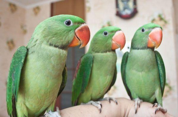 Олександрійські папуги