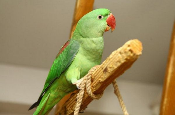 Олександрійський папуга