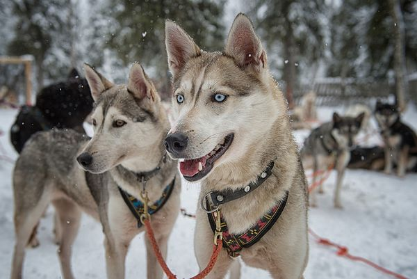 Аляскинські хаскі порода