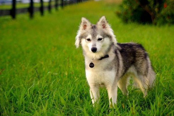 Aljašský klee-kai (foto): mini-husky s charakterom špice