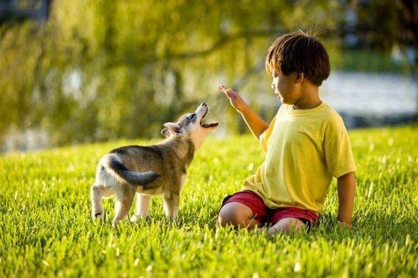 Аляскинский клі-кай бездоганний в спілкуванні з дітьми, і ніколи не допускає агресії по відношенню до них
